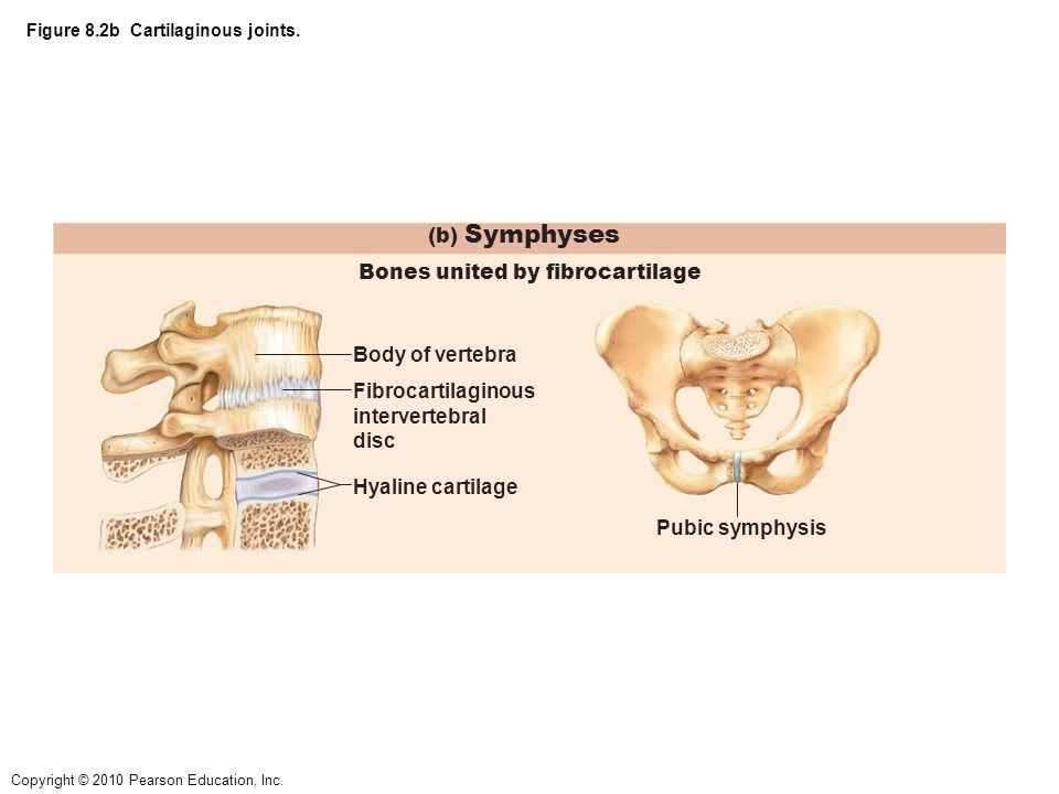 Figure 8.2b Cartilaginous joints.