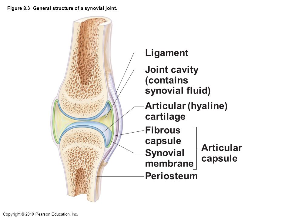 Figure 8.3 General structure of a synovial joint.
