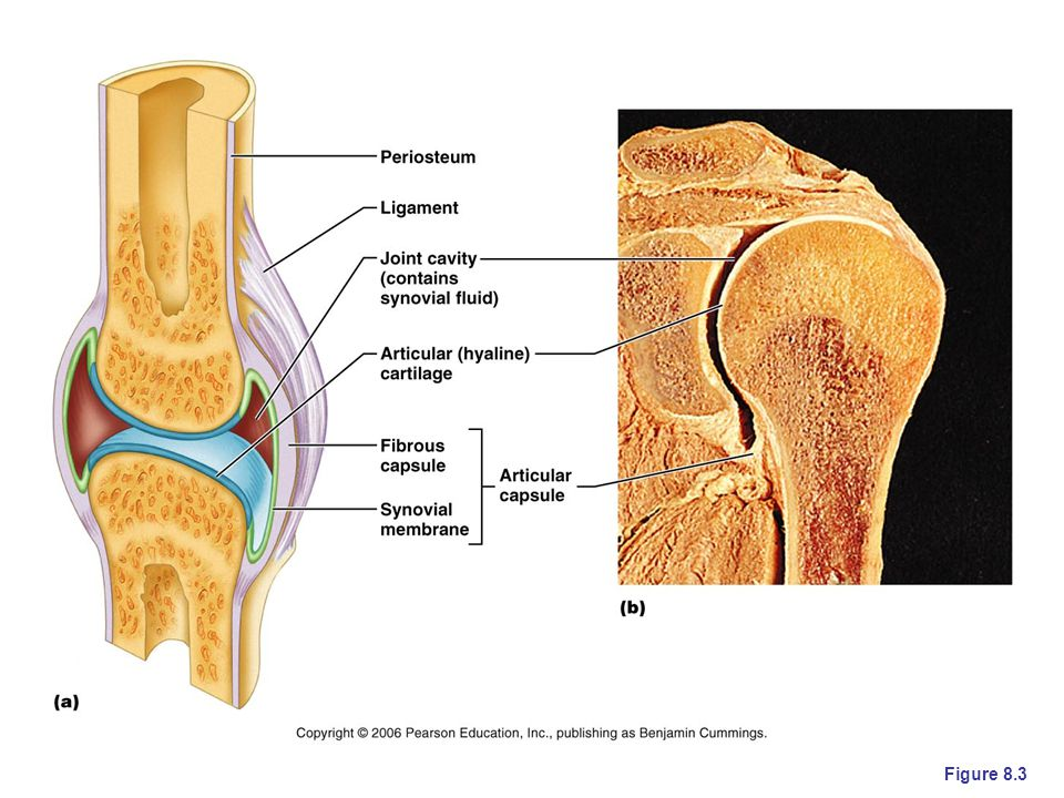 The especially complex joint in b is between the head of the humerus and the glenoid fossa and acromion of the scapula. In more complex joints, we can sometimes see burase. Bursae are pillows of synovial membrane filled with synovial fluid. They act as cushions in very heavy use/complex joint areas (think of shoulder, elbow, hip, and knee).