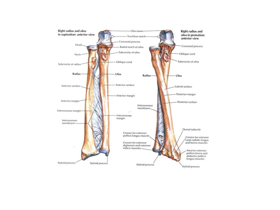 In the above slide, notice how the PIVOT JOINT between the radius and ulna allows the two bones to rotate over each other (on the left side we see the bones in anatomical position (thumbs upward), and on the right we see the bones crossed in nonanatomical position (the X shape would make it difficult to read X-rays of those bones).