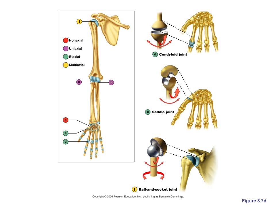 Condyloid joint – allows limited three-dimensional movement