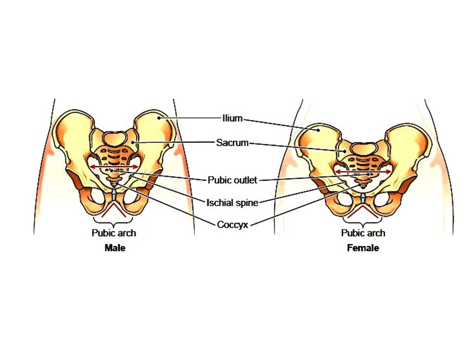 See the comparison of the design of the male and female pelvic girdle.