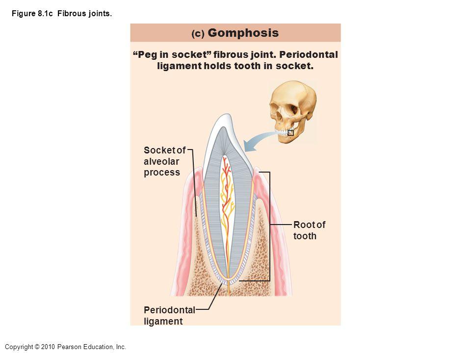Figure 8.1c Fibrous joints.