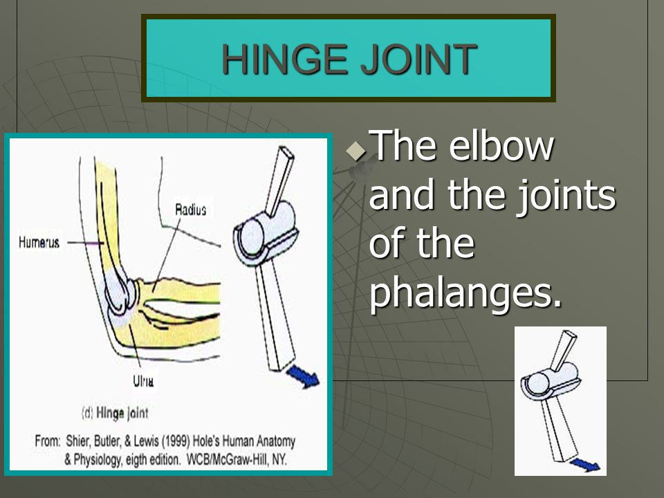 HINGE JOINT The elbow and the joints of the phalanges.