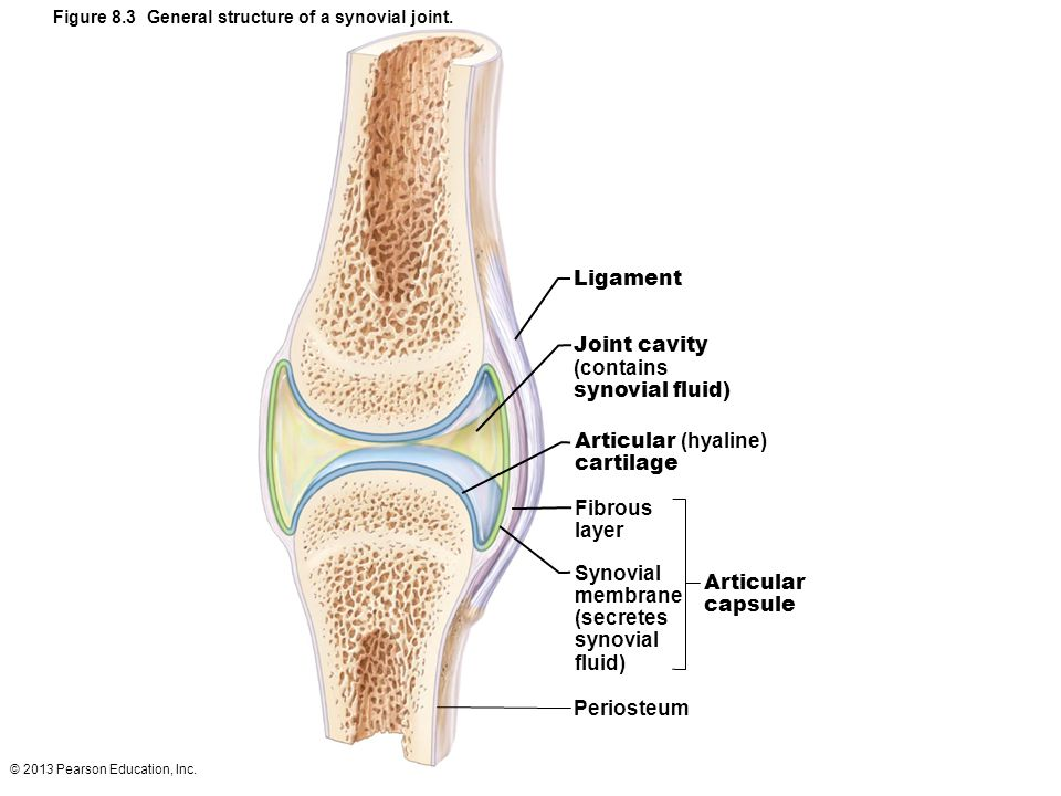 Ligament Joint cavity (contains synovial fluid) Articular (hyaline)