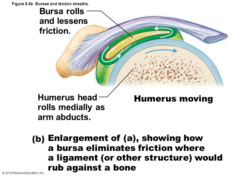 Enlargement of (a), showing how a bursa eliminates friction where