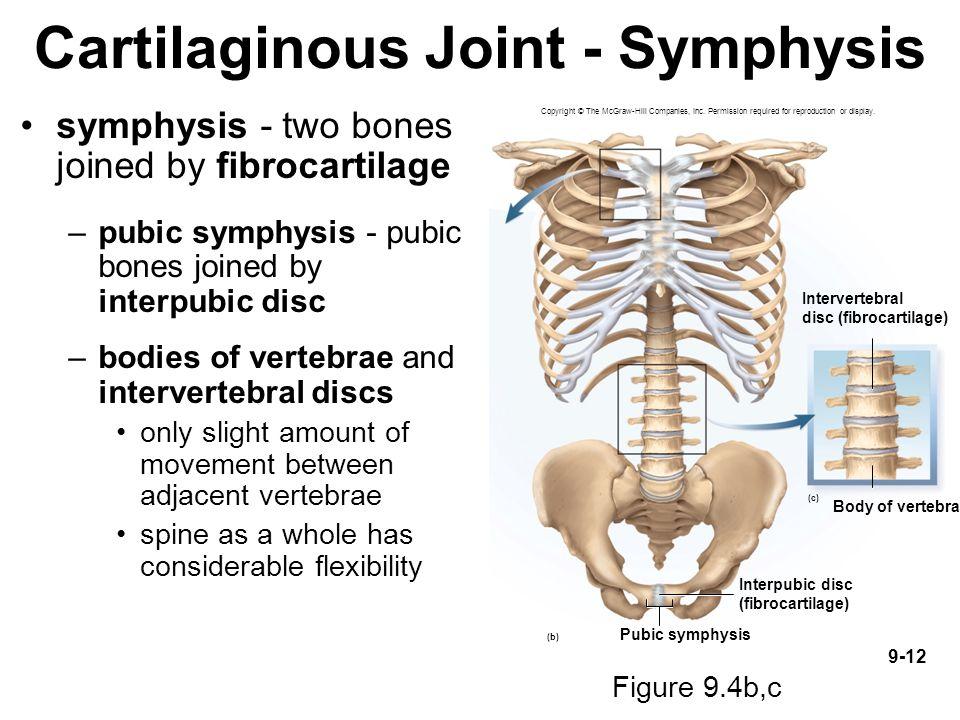Cartilaginous Joint - Symphysis