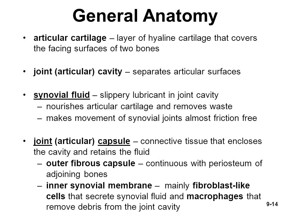 General Anatomy articular cartilage – layer of hyaline cartilage that covers the facing surfaces of two bones.