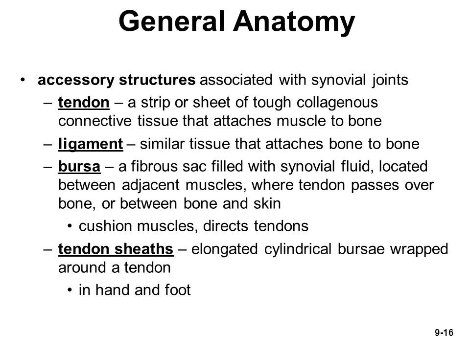 General Anatomy accessory structures associated with synovial joints