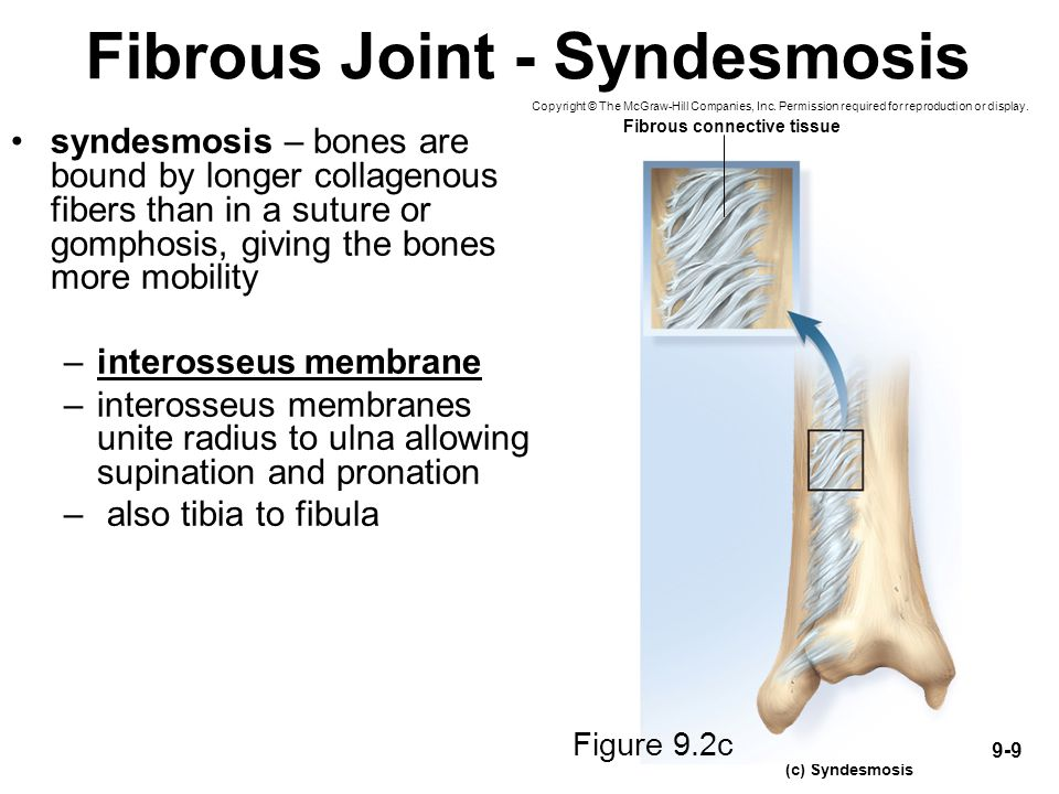 Fibrous Joint - Syndesmosis