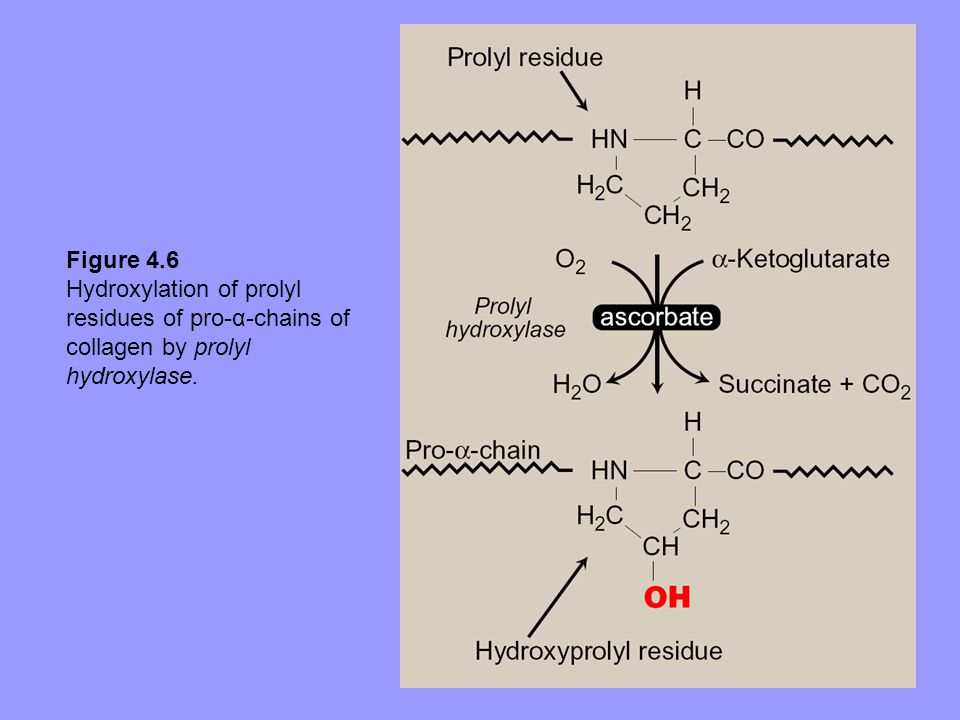 Figure 4.6 Hydroxylation of prolyl residues of pro-α-chains of collagen by prolyl hydroxylase.