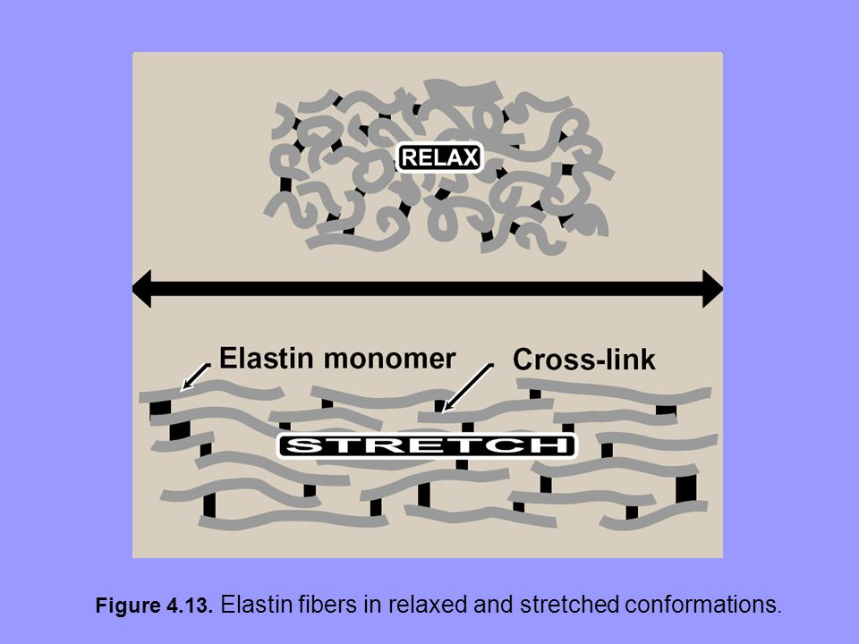 Figure 4.13. Elastin fibers in relaxed and stretched conformations.