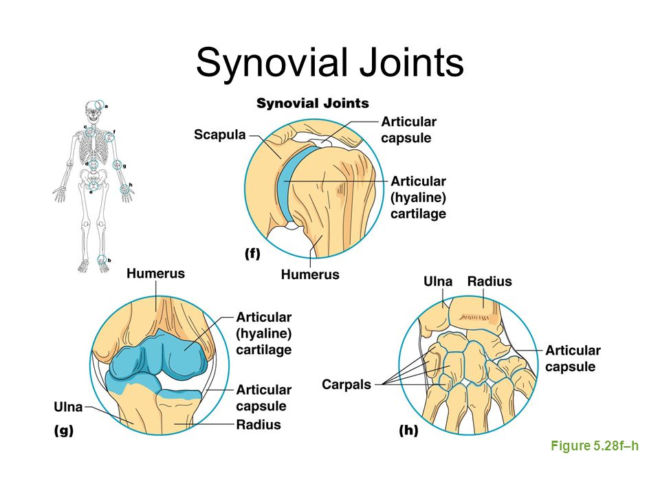 Synovial Joints Figure 5.28f–h