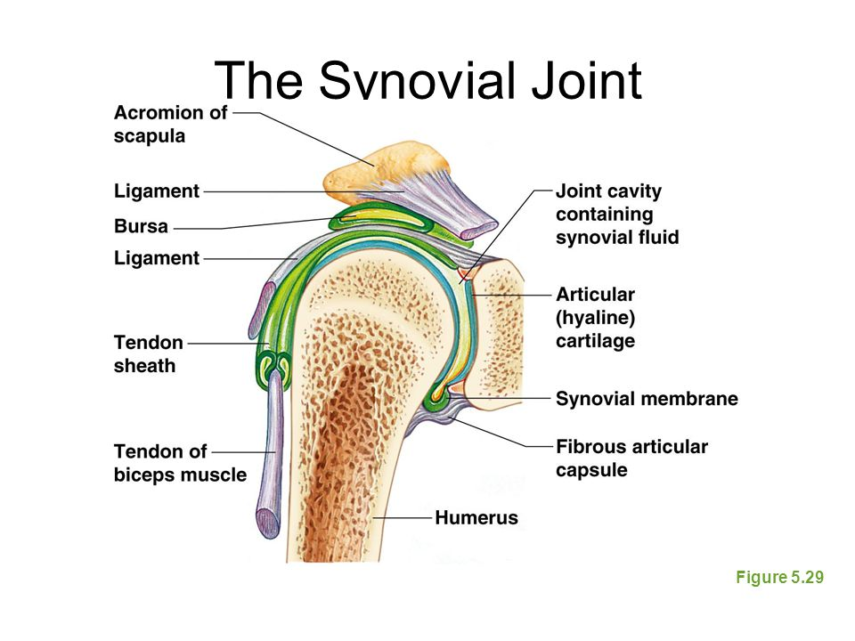The Synovial Joint Figure 5.29