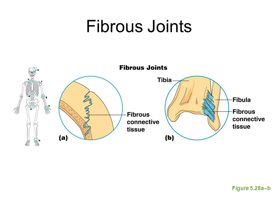 Fibrous Joints Figure 5.28a–b
