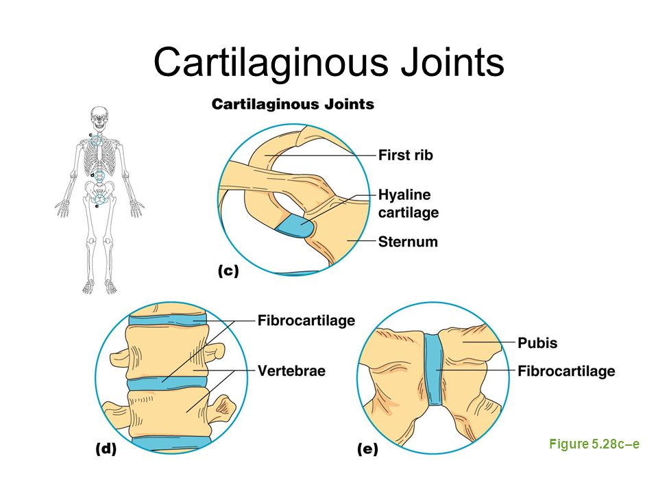 Cartilaginous Joints Figure 5.28c–e