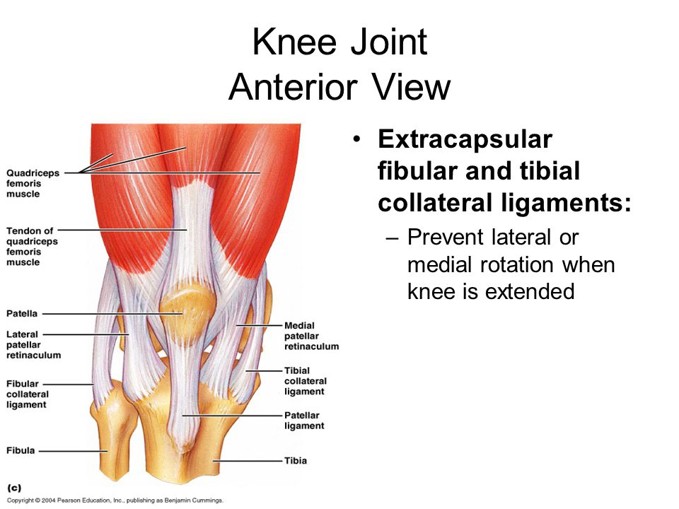 Knee Joint Anterior View