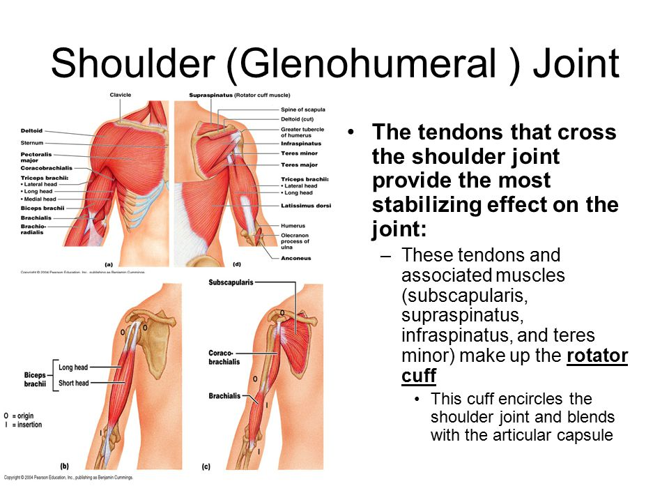 Shoulder (Glenohumeral ) Joint