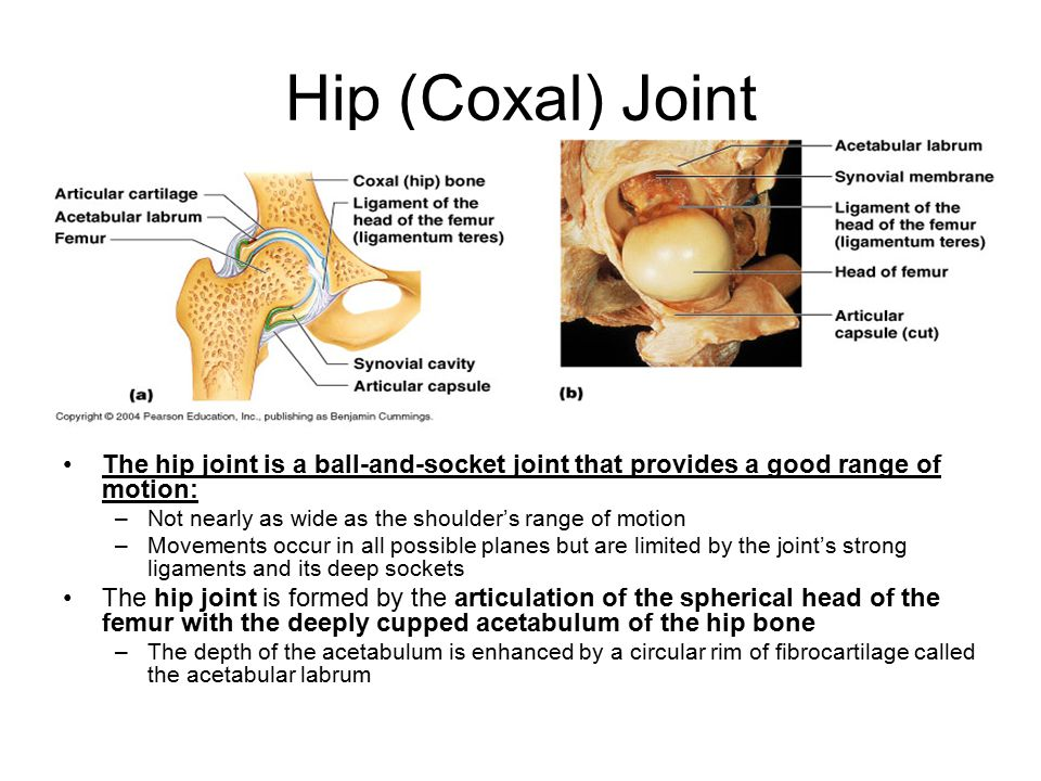 Hip (Coxal) Joint The hip joint is a ball-and-socket joint that provides a good range of motion: