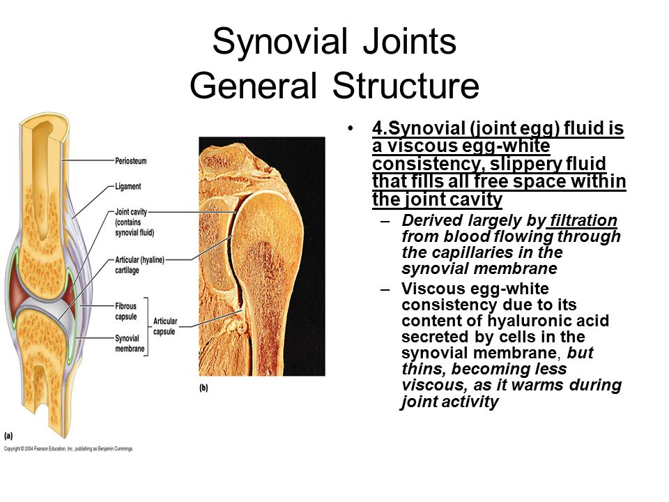 Synovial Joints General Structure