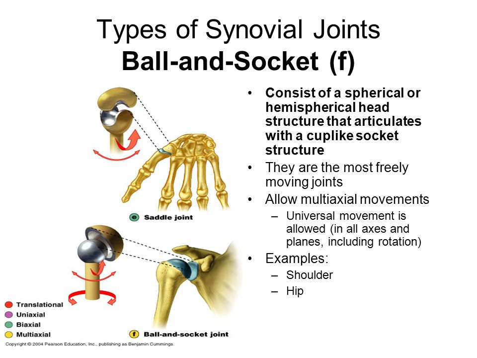 Types of Synovial Joints Ball-and-Socket (f)