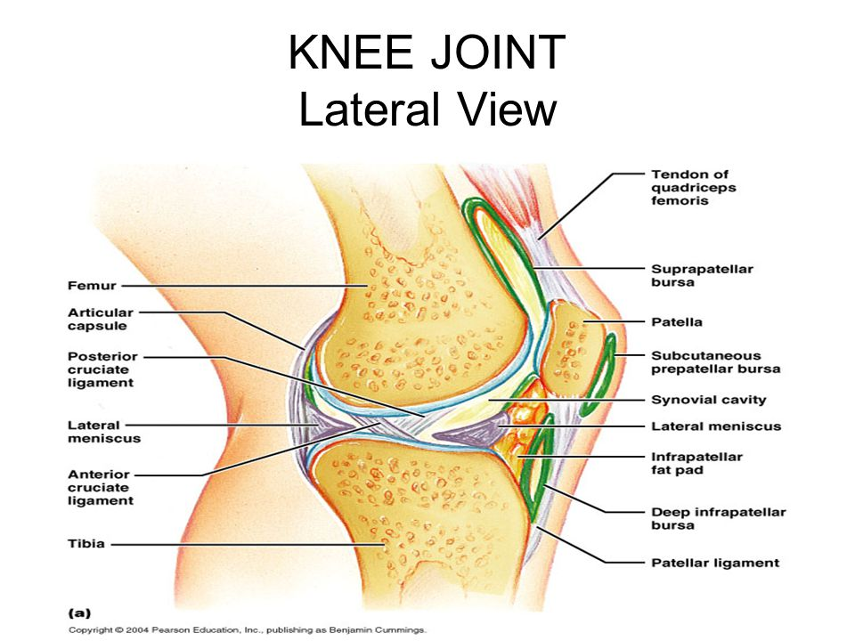 KNEE JOINT Lateral View