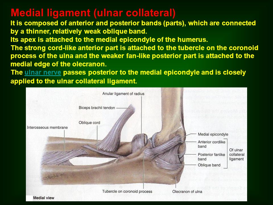 Medial ligament (ulnar collateral)