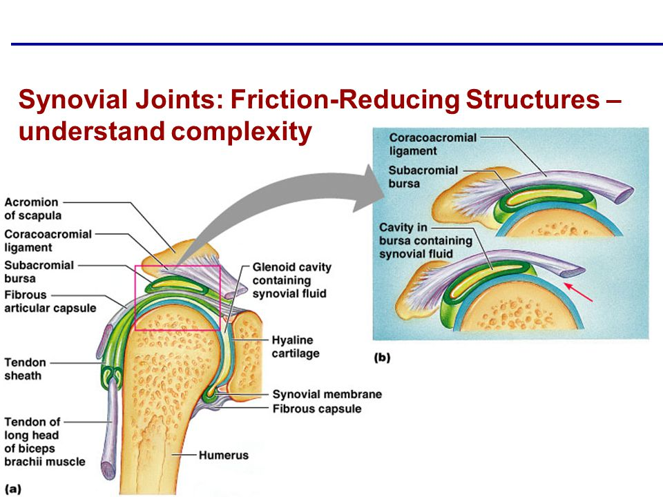 Synovial Joints: Friction-Reducing Structures – understand complexity