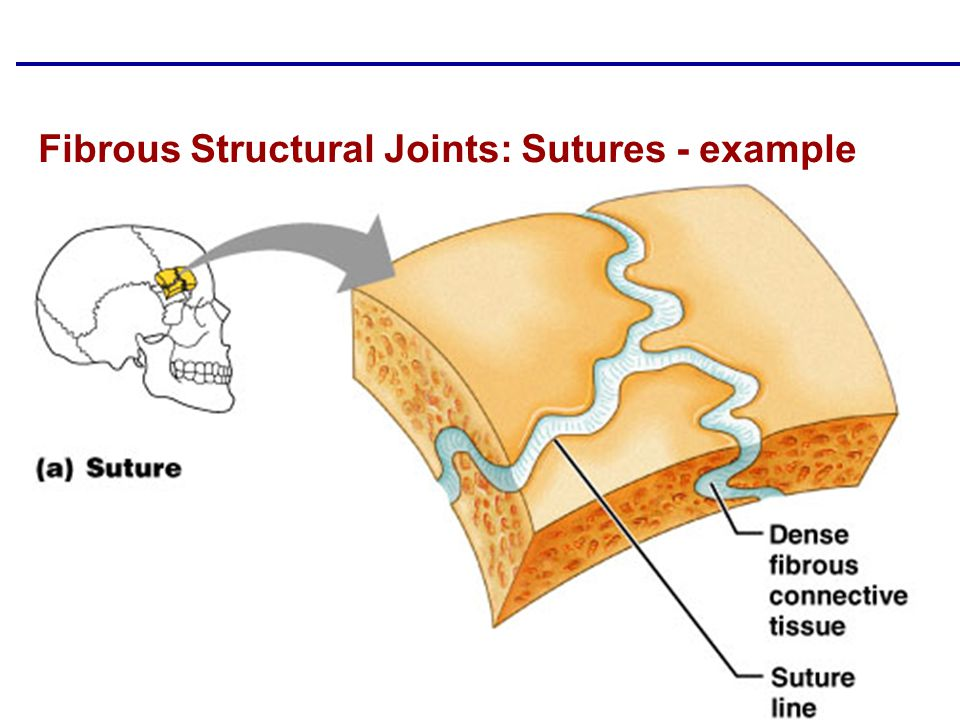 Fibrous Structural Joints: Sutures - example