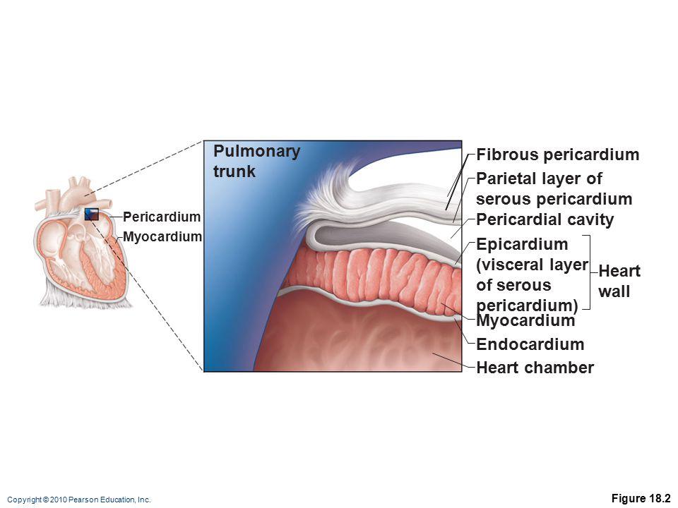 Pulmonary Fibrous pericardium trunk Parietal layer of