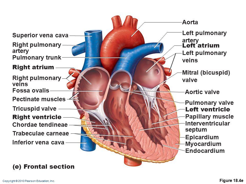 Aorta Left pulmonary artery Superior vena cava Right pulmonary artery