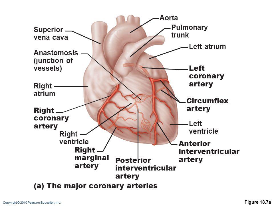 (a) The major coronary arteries