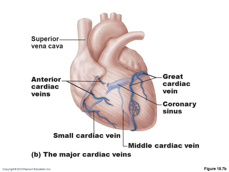 (b) The major cardiac veins