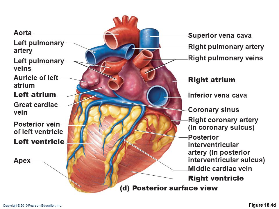 Right pulmonary artery