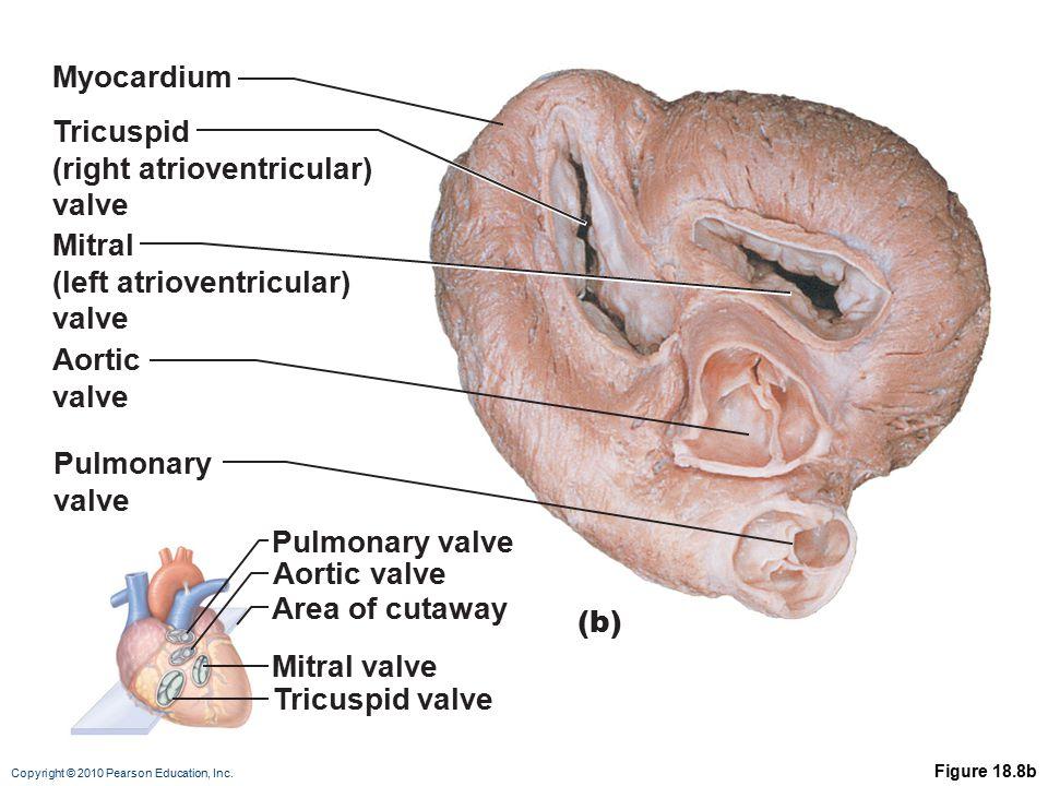 (right atrioventricular) valve