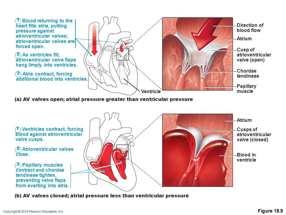 heart fills atria, putting pressure against atrioventricular valves;