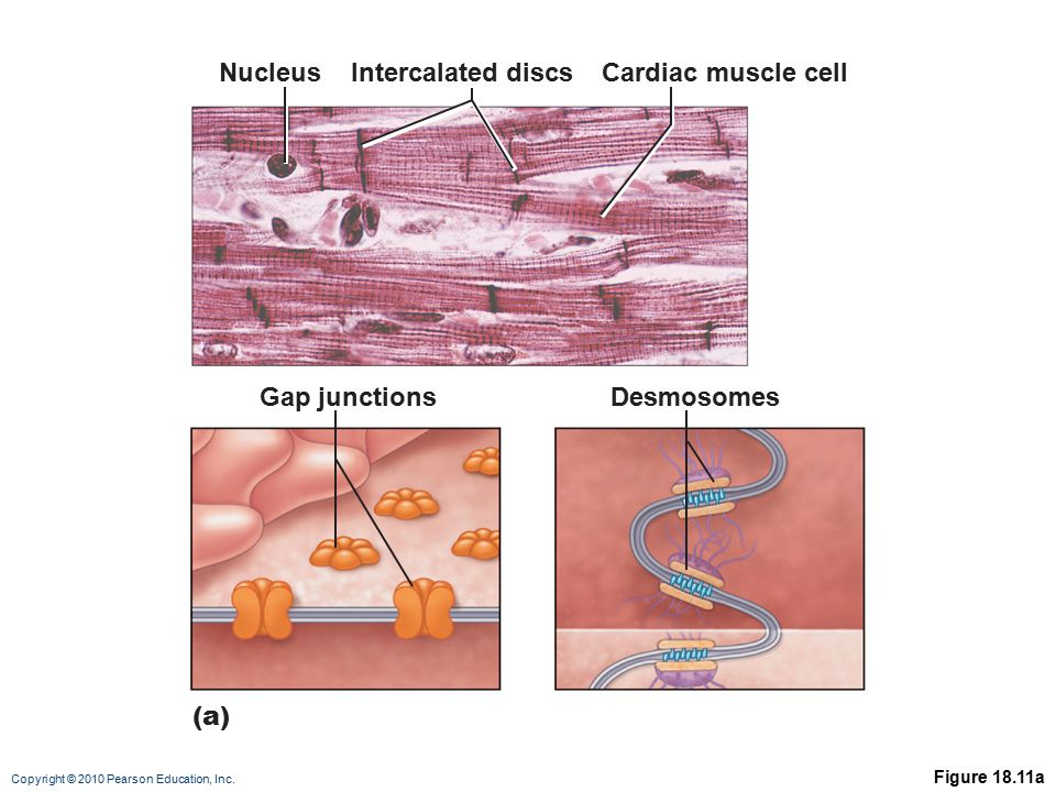 Nucleus Intercalated discs Cardiac muscle cell Gap junctions