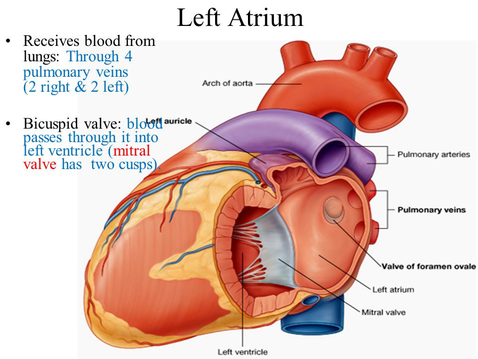 Left Atrium Receives blood from lungs: Through 4 pulmonary veins (2 right & 2 left)