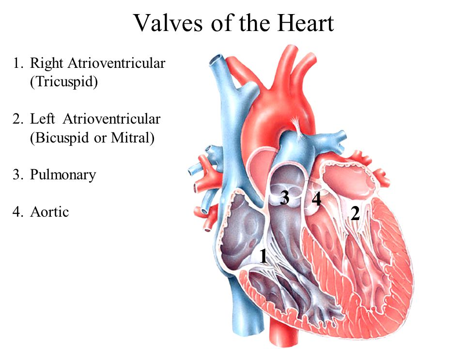 Valves of the Heart 3 4 2 1 Right Atrioventricular (Tricuspid)