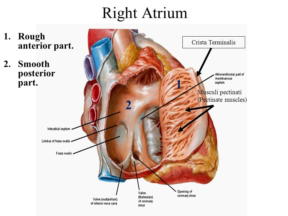 Right Atrium 1 2 Rough anterior part. Smooth posterior part.