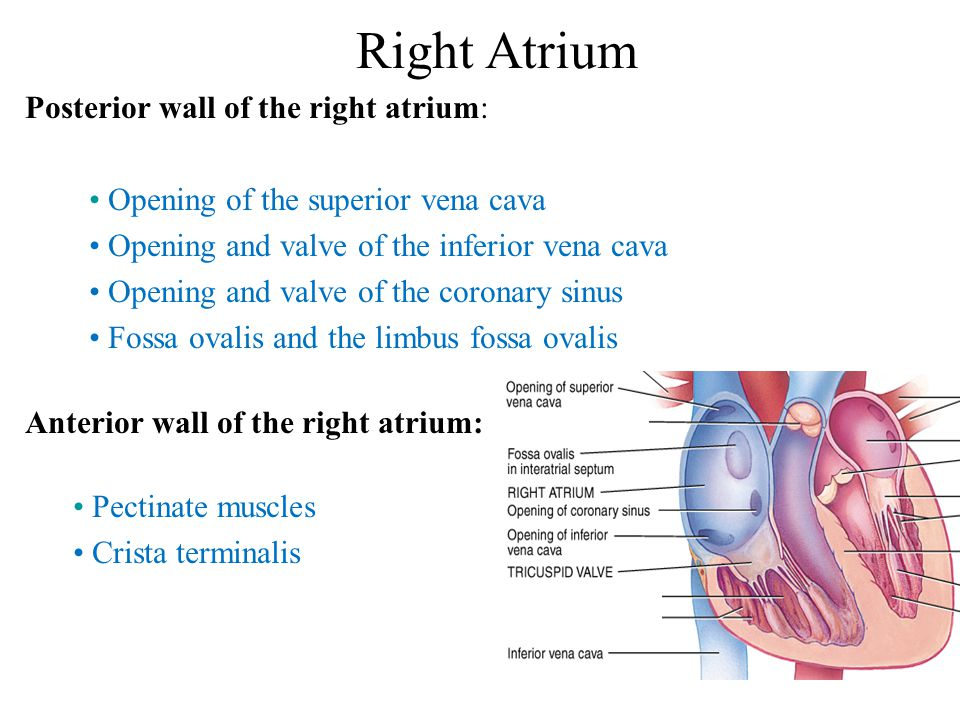 Right Atrium Posterior wall of the right atrium: