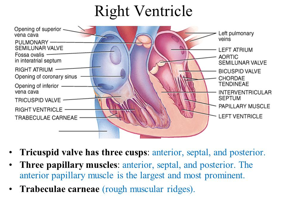 Right Ventricle Tricuspid valve has three cusps: anterior, septal, and posterior.