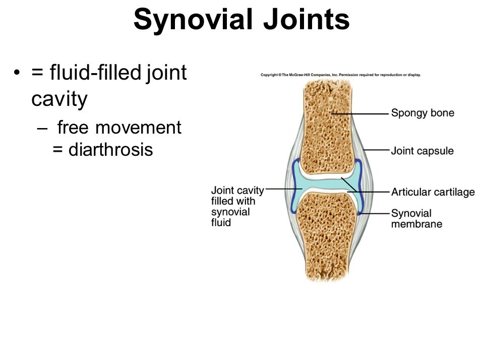 Synovial Joints = fluid-filled joint cavity
