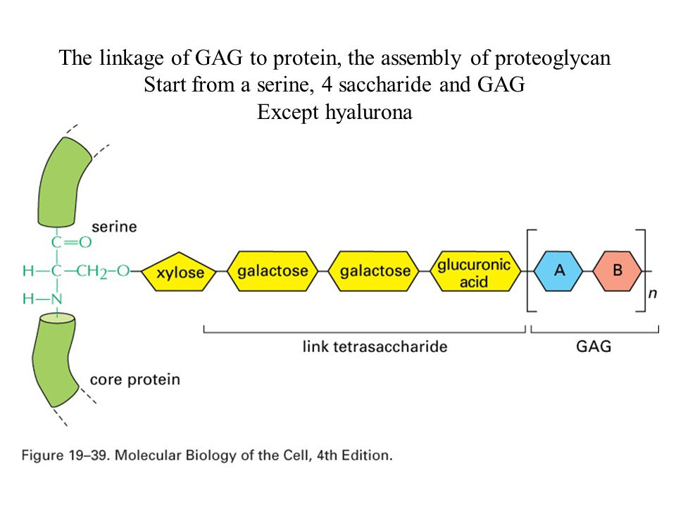 The linkage of GAG to protein, the assembly of proteoglycan