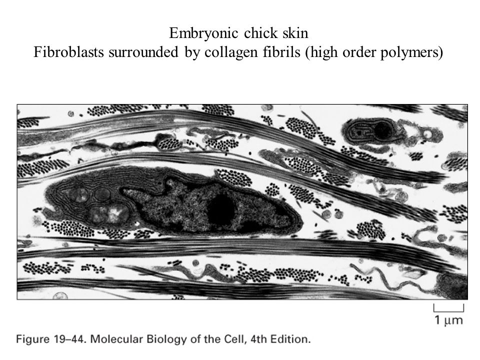 Fibroblasts surrounded by collagen fibrils (high order polymers)