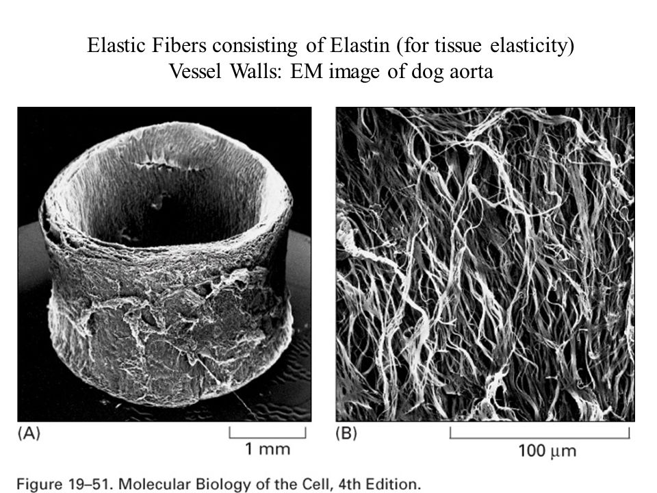 Elastic Fibers consisting of Elastin (for tissue elasticity)