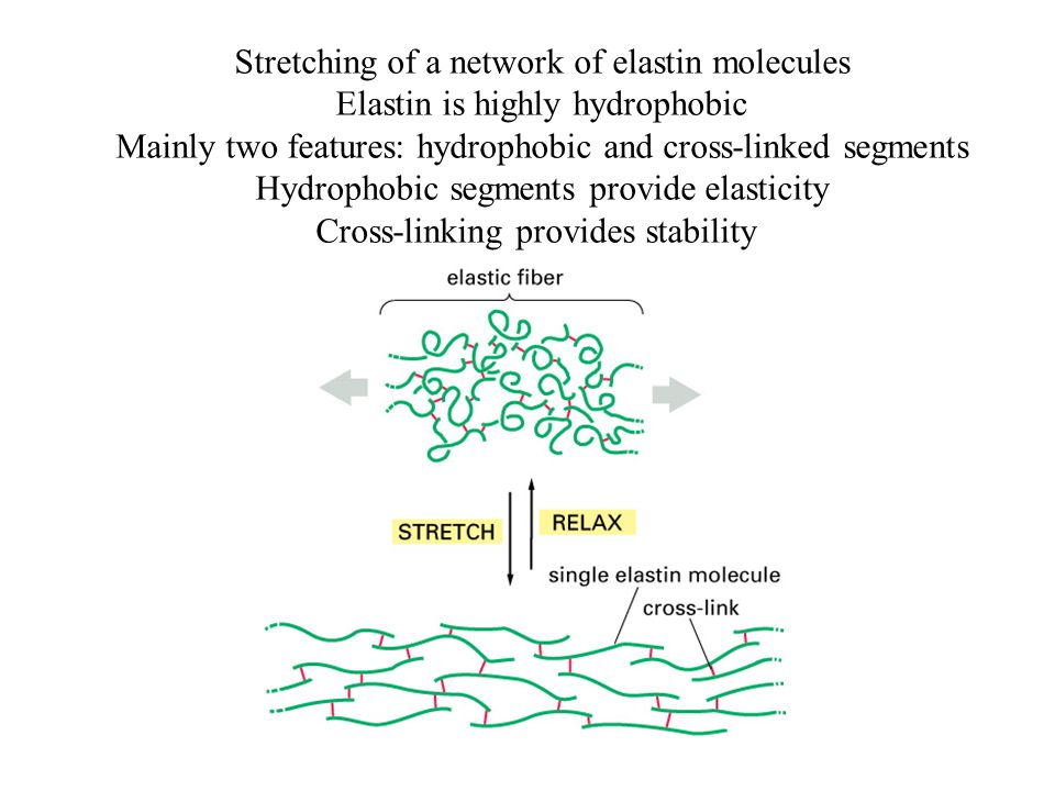 Stretching of a network of elastin molecules