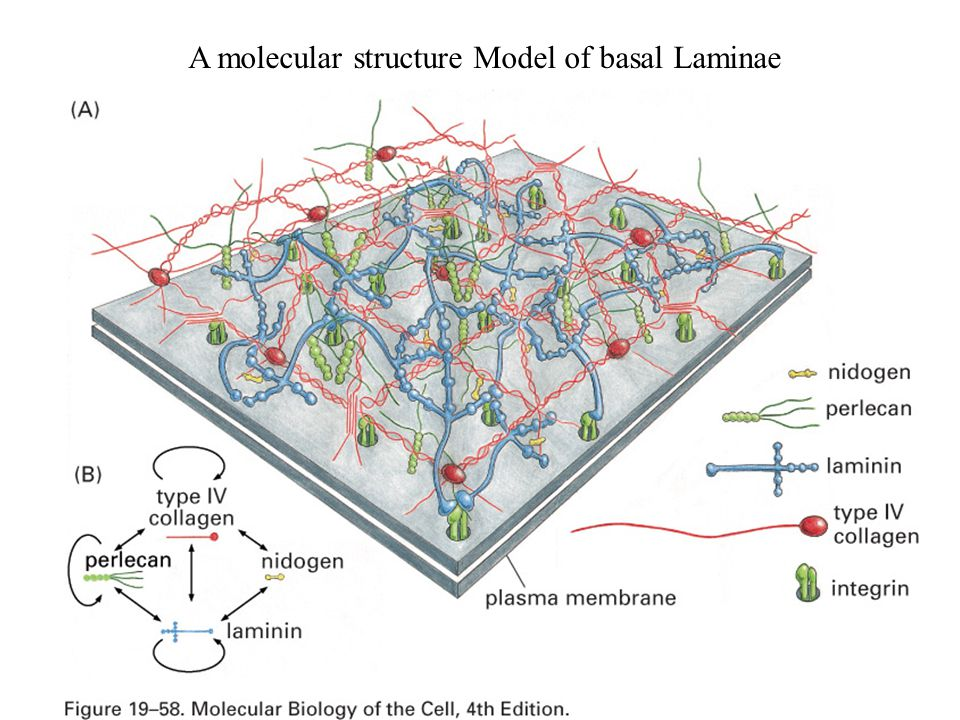 A molecular structure Model of basal Laminae
