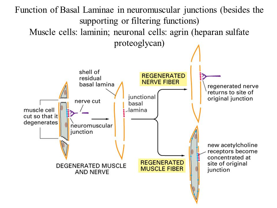 Function of Basal Laminae in neuromuscular junctions (besides the supporting or filtering functions)