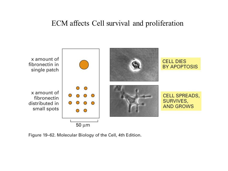 ECM affects Cell survival and proliferation